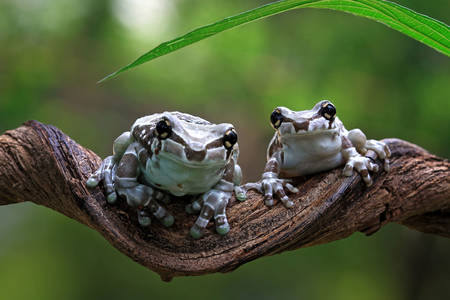 Frogs on a branch