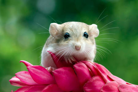 Ratón jerbo en flor