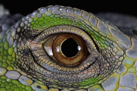 Iguana eye close up