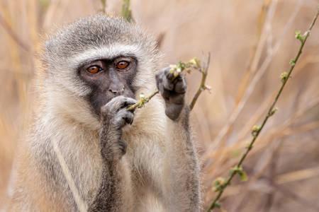 Πράσινη μαϊμού