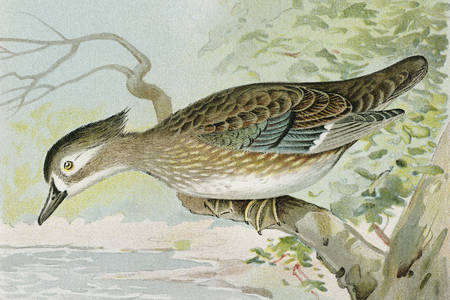Самка древесной утки