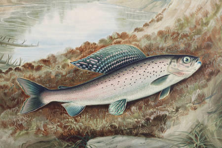 Arctic grayling illustration
