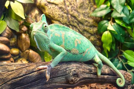 Chameleón na konári