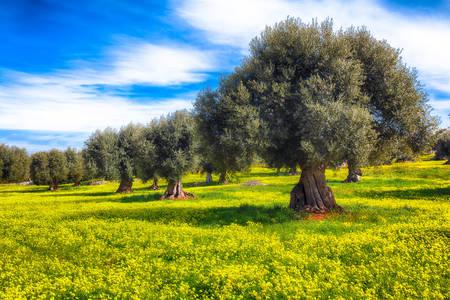 Olivovníky v Apulii