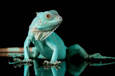 Blue iguana on black background