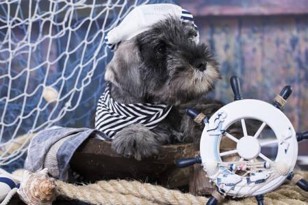 Mittelschnauzer puppy