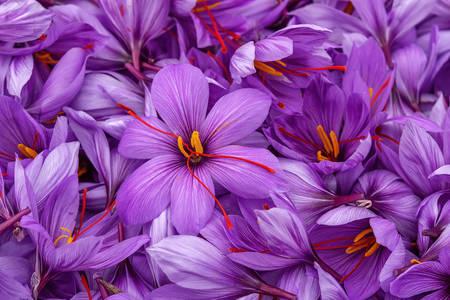 Saffron flowers