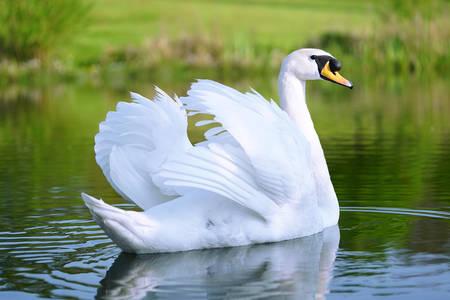 Bijeli labud
