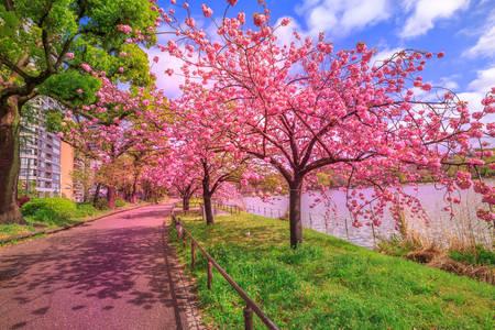 Kvetoucí sakura v Tokiu