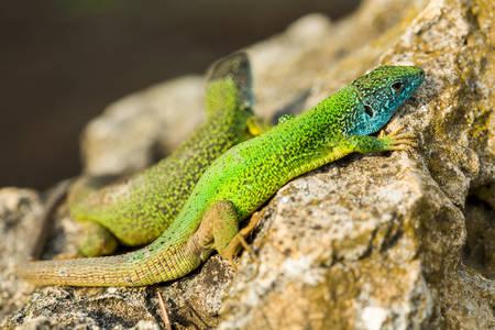 Emerald geckos