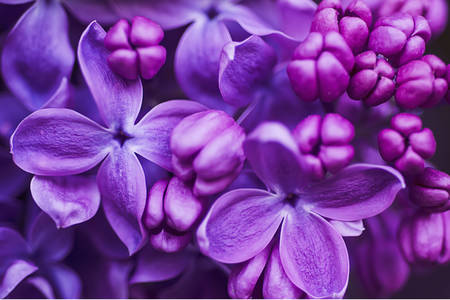 Macro photo of lilac flowers