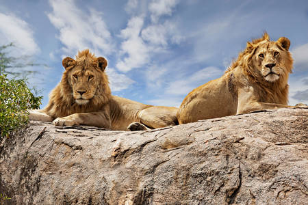 Lions on stone