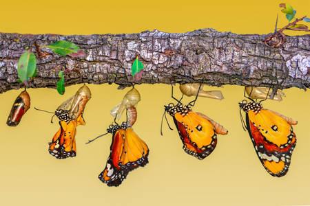 Трансформацията на пеперуда от гъсеница