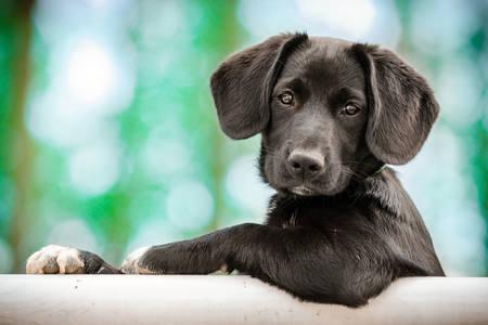 Siyah köpek yavrusu