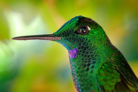 Kolibrie diamant met groene kroon