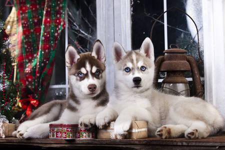 Pencerenin yanında Husky yavruları