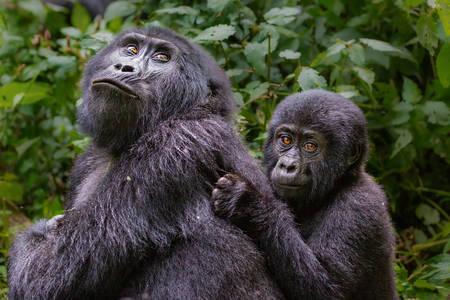 Mountain gorilla with cub