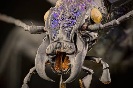 Macro photo of ground beetle