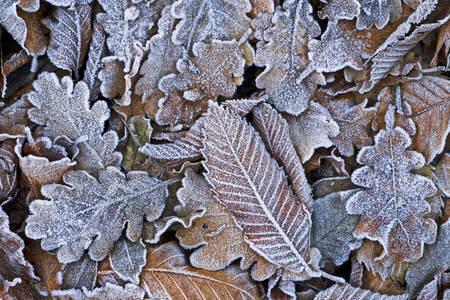 Opalo promrzlo lišće