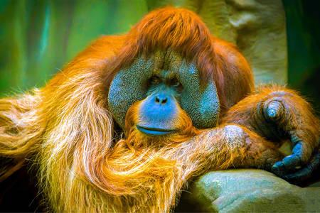 Orangután portré
