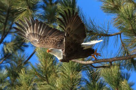 Vulturul chel american