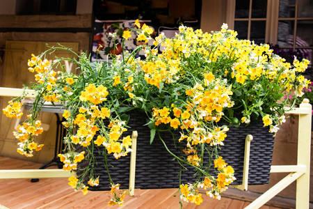 Hasır bir tencerede sarı nemesia