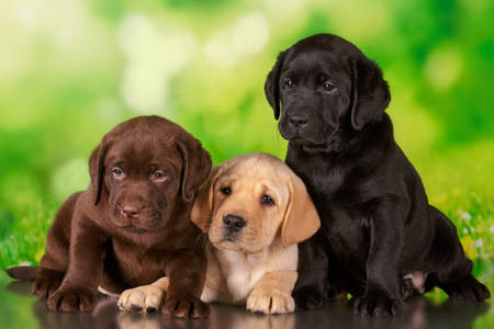 Lobrador puppies
