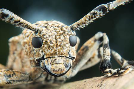Makro fotografia Cerambycidae