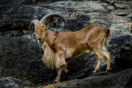 Barbary sheep on a rock