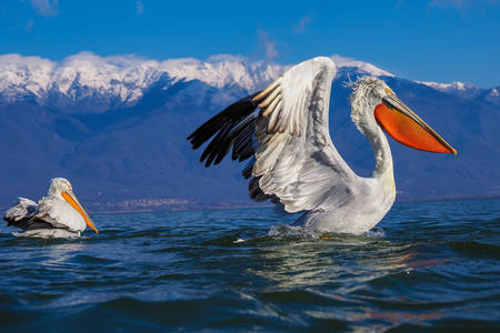 Пеликани