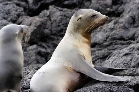 Leii de mare din Galapagos