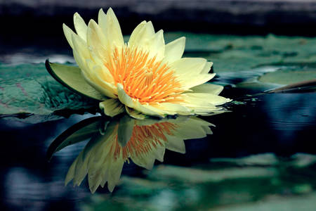 Lotus on the pond