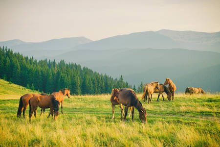 Wild horses in the Carpathians