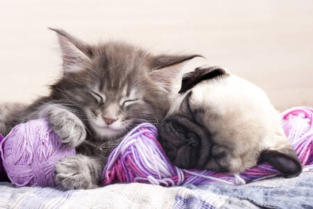 Maine Coon kitten and pug puppy