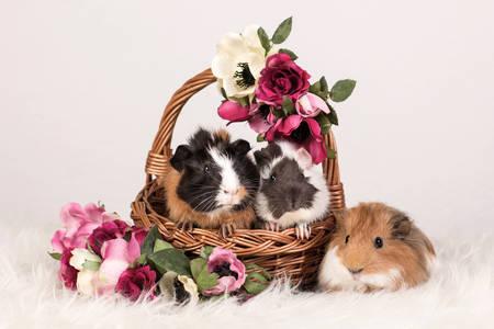 Zamorčići u korpi sa cvećem