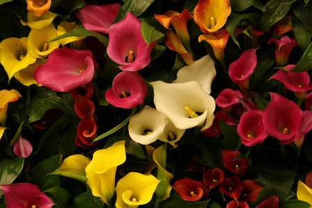 Calla lilies of different colors