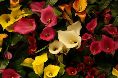 Calla lilie různých barev