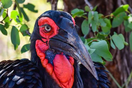 Horned raven