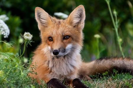 Lisica leži na travi