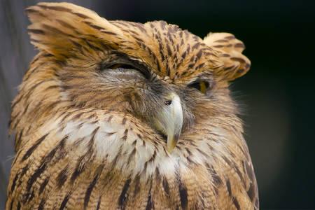 Coruja sonolenta