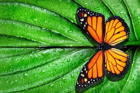 Monarch butterfly on green leaf