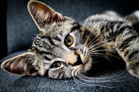 Tabby mačić
