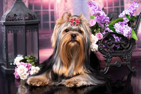 Luxurious yorkshire terrier