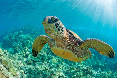 Turtle over coral reef