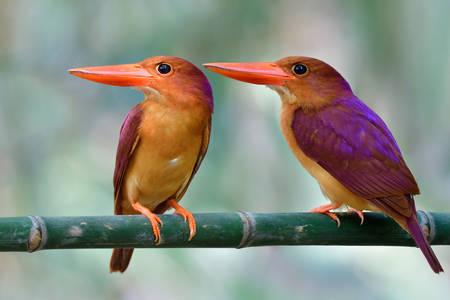 Par azijskih ptica na grani