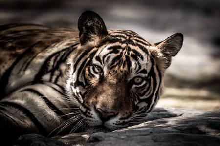 Tigar se odmara u hladu