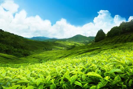 Tea ültetvény