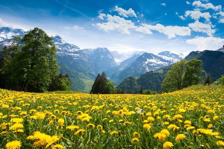 Dandelion Field in Braunwald