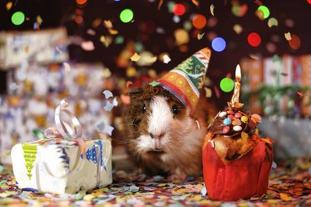 Congratulation from a guinea pig