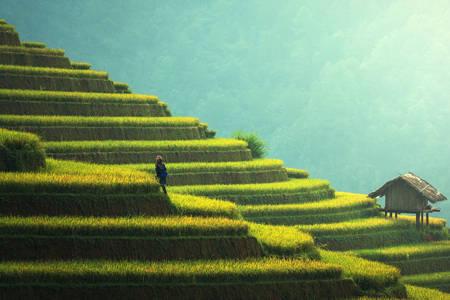 Плантація рису